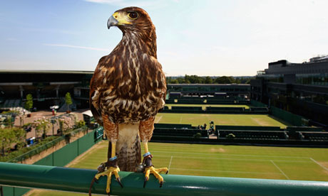 Rufus the Hawk at Wimbledon. Source: amazinganimalstories.com